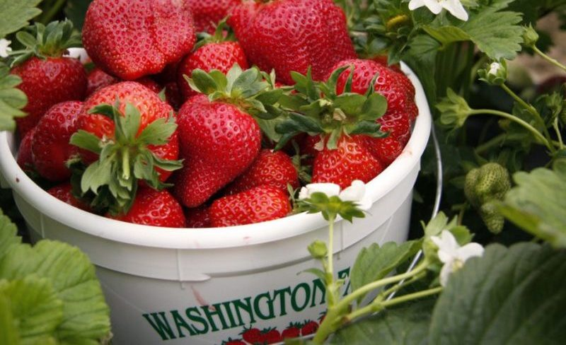 The Mystery of What Makes Washington Strawberries So Sweet