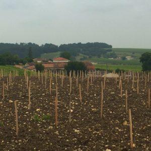 Brandy vines